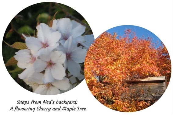 Snaps from Neds backyard A flowering Cherry and Maple Tree